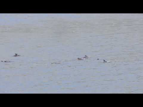 Pilot Whales - North Queensferry - 04/09/2012