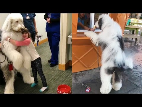 ZammyPup - The Giant Sheepadoodle Therapy Dog