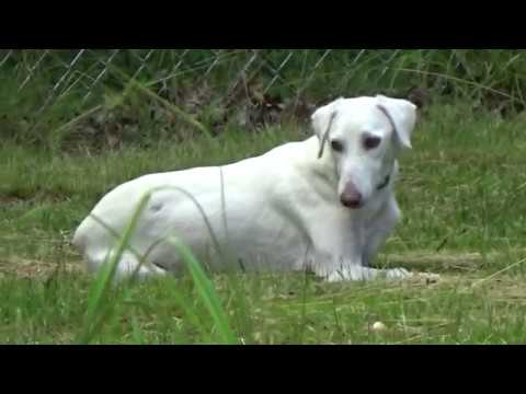 Bella the Saluki from Doha ♥ Here in the US on her 2nd day