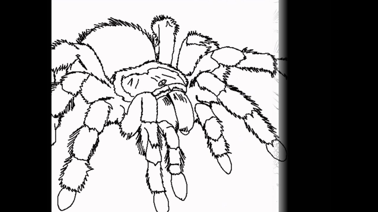 Tarantula Coloring By Cool Findz Com Youtube Tarantula Coloring Page