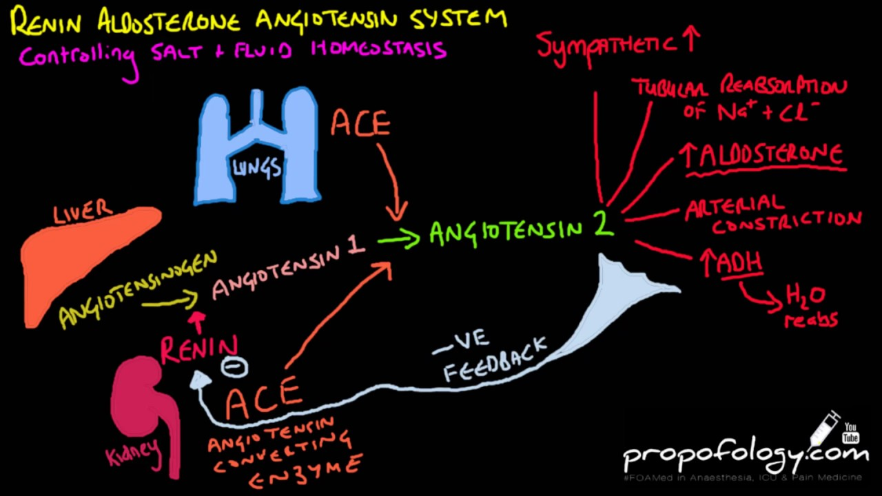Image result for How the Renin-Angiotensin (RAA) System Works to Regulate Blood Pressure