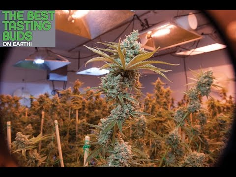 Best Tasting Buds on Earth - May 2016 Preview