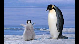 Голоса и звуки животных Арктики и Антарктики для детей.Развивающее видео.Карточки Домана.