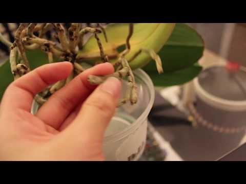 水培蝴蝶兰第一次裸根 | 裸根泡水交替大法 | 裸根时状态 | 根系修复了的样子 (上)
