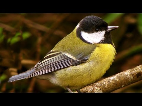 Great Tit - Birds Chirping and Singing