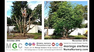 Huge Moringa Tree | South Tampa, Florida
