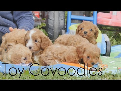 Toy Cavoodle puppies with the boys