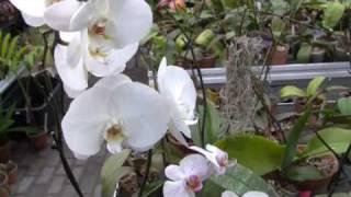 Kuidas valida orhideed?