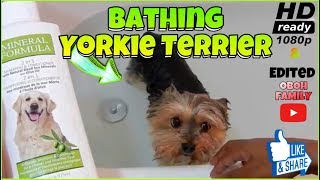 Bathing Dog with Mineral Formula Shampoo (BUY LINK BELOW) Yorkie Terrier VLOG