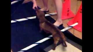 Therapeutic Exercises For Dogs - Miniature Dachshund