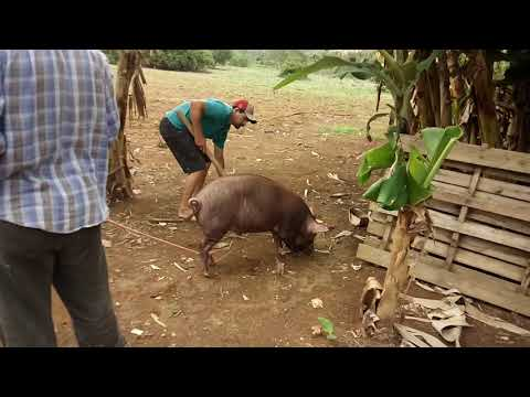 Matando porco 2017