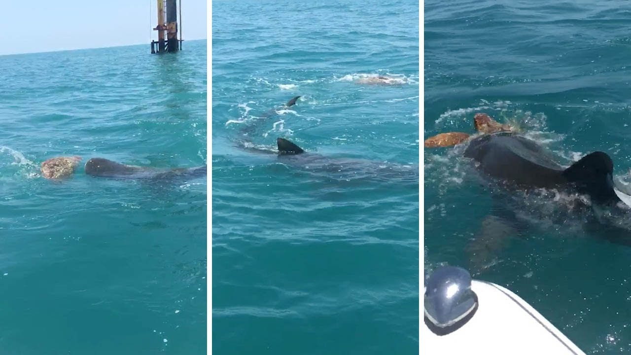 Animal attack video: Shark battles turtle in the water ... |Tiger Sharks Attack Turtle