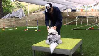 Dog Agility Training -- Avoiding Agility Traps