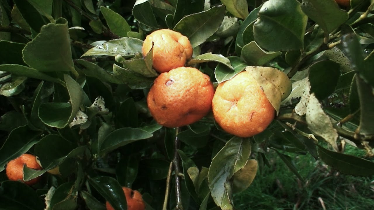 Mandarino arbol de mandarinas citricos arboles for Arboles frutales de hoja caduca