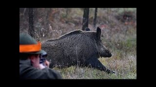 Опасные моменты охоты на кабана, нарезка