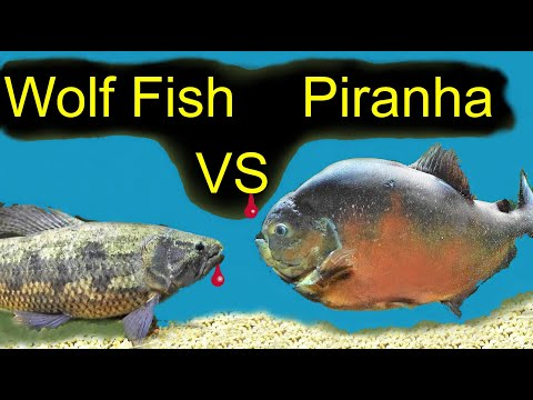 Big Piranha VS Wolf Fish!