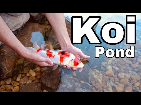 ADDING BABY KOI To The Pond!! ** EXPENSIVE**
