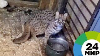 В Приморье спасли редкого детеныша дальневосточного лесного кота - МИР 24