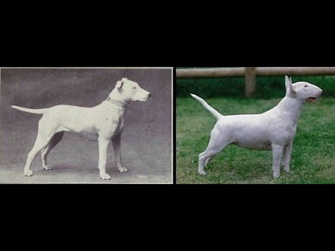 Dog Breeds Then and Now - 100 years of Evolution and How Dogs have Changed