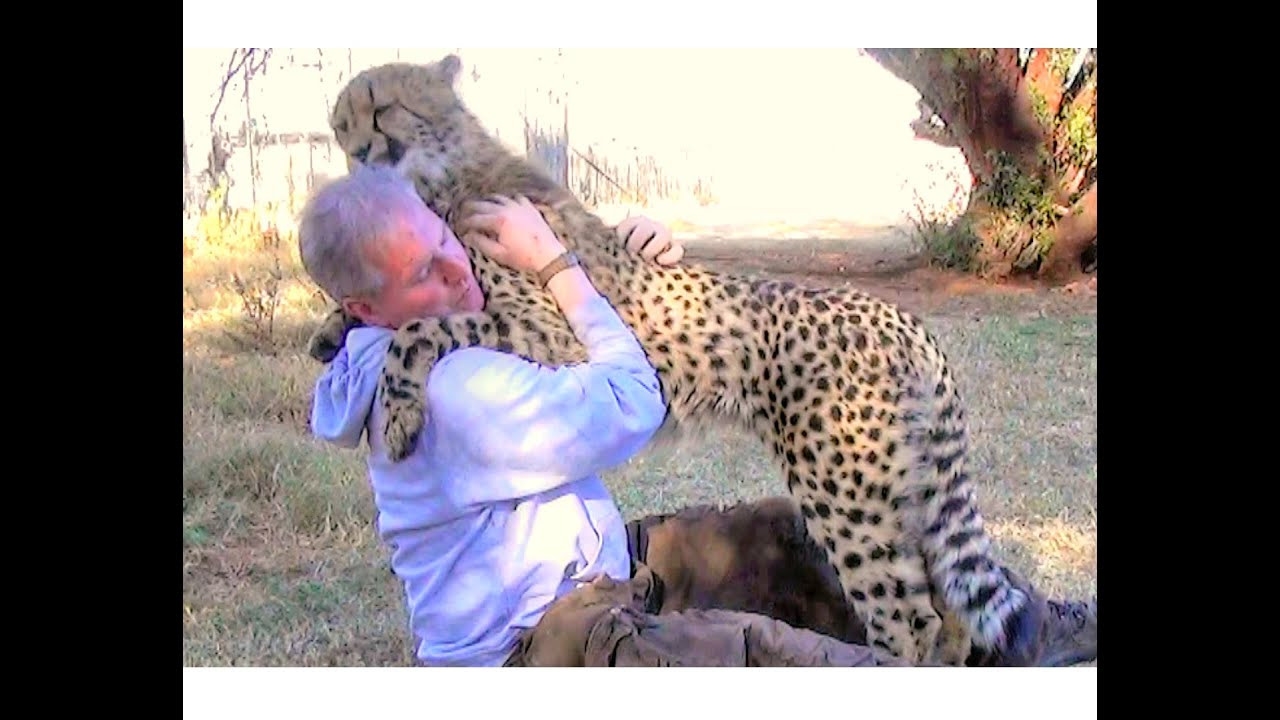 Male African Cheetah Loves Giving Affectionate Love Hugs