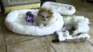 Parti Color Pomeranian Puppies For Sale