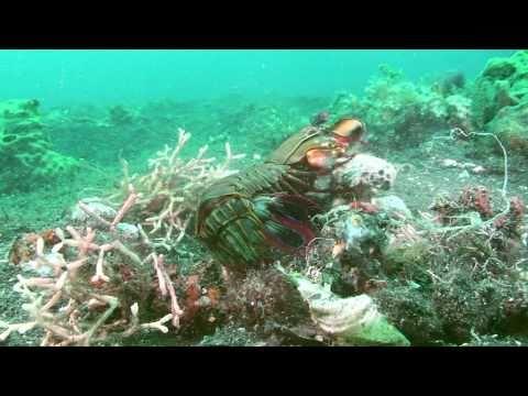 "Mantis Shrimp ""Ma forteresse"" (mantis shrimp, squille mante)"