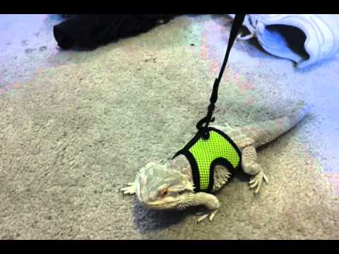 Dino my Bearded Dragon trying out his harness for - YouTube