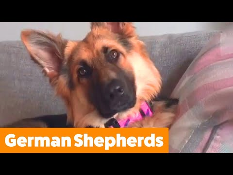 Cute and Funny German Shepherds!   Funny Pet Videos