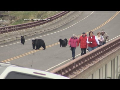 Black Bears Chase Tourists at Yellowstone National Park
