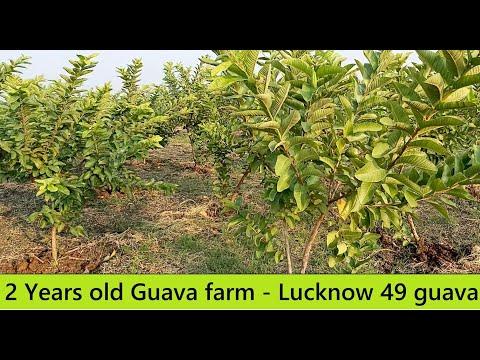 Guava farm after 2 years / High Density Guava farm in Tamil Nadu / Lucknow 49 Guavas