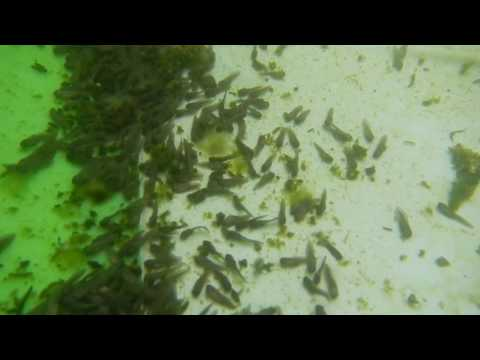 Marine Toad tadpoles - record in the water 2