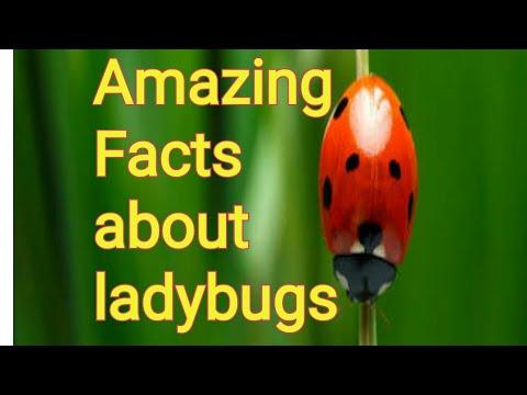 Amazing Facts About Ladybug