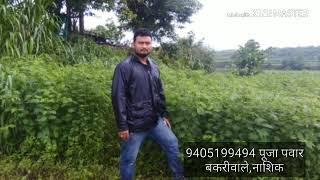 दशरथ गवत बियाणे नाशिक व घर पोहच मिळेल DASHRATH GRASS संपर्क 9405199494