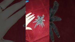 Avicularia Metallica Spider