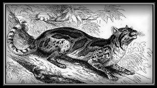 «Wild Cats and Kittens» фото слайдшоу рисунки.