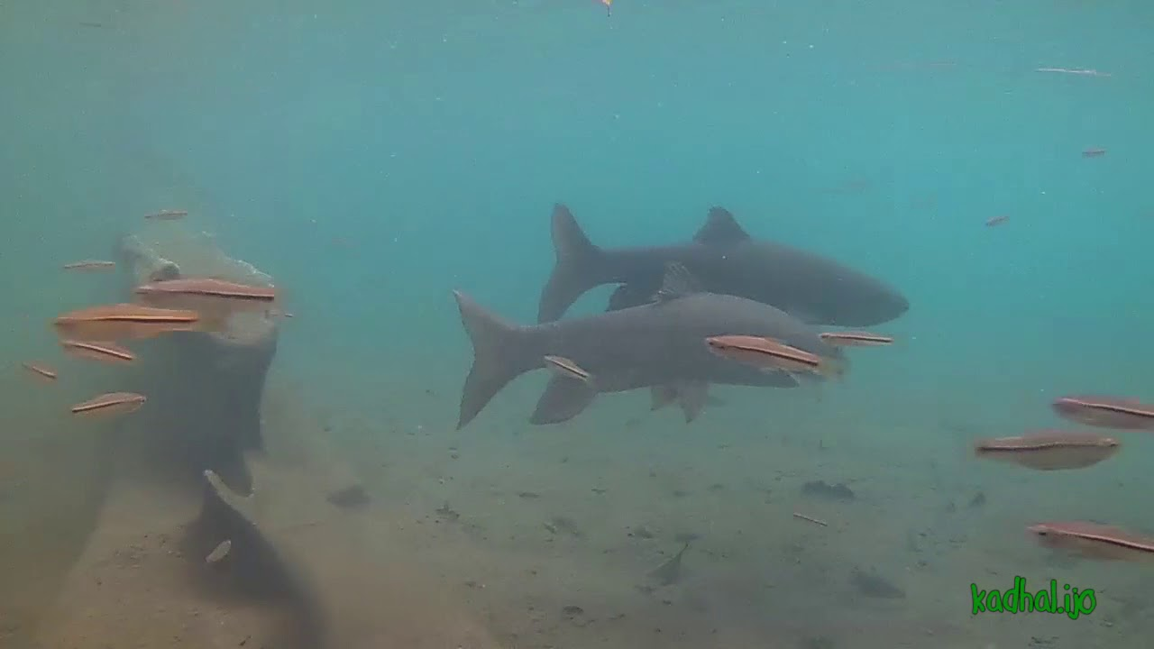 Ikan Dewa Telaga Rambut Monte Youtube
