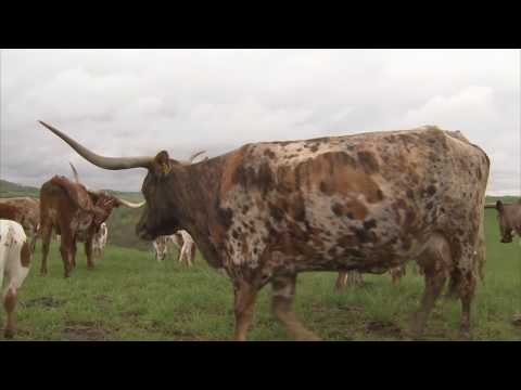 Longhorn Cattle In Ohio - America's Heartland