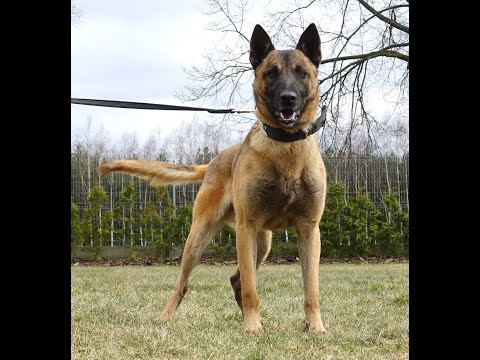 Kuko Belgian Malinois - Detection Out and Inside building