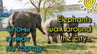 Слоны гуляют по улицам города. Цирк приехал! | Elephants walk around the city
