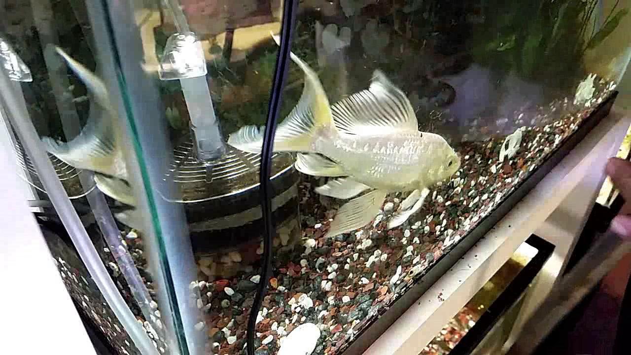 Freshwater aquarium fish that eat snails - Koi Fish Eating Snails Update