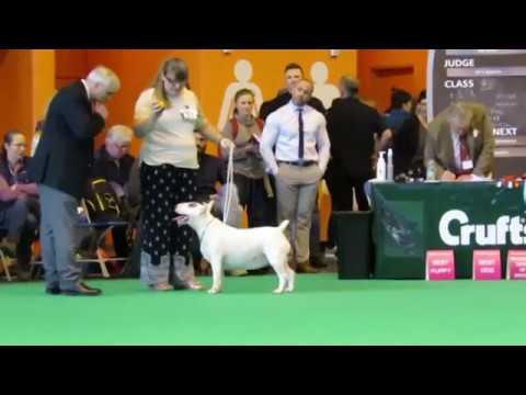Crufts 2017 Bull Terrier Standard Bitch Female Girl classes World Class  dog show showing