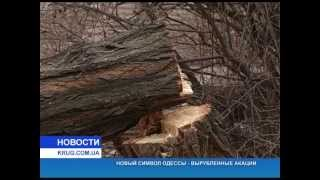 Новый символ Одессы - вырубленные акации
