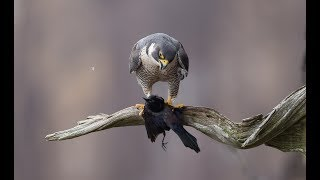 Peregrine Falcons - New Jersey 2018