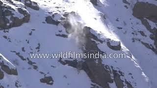 Снежный барс охотится на сибирского козерога  в Гималаях , невероятное видео!!!