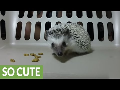 Curious hedgehog closely investigates camera