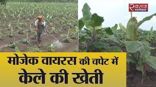 मोजैक वायरस की चपेट में केला | Virus Attack On Banana Farming