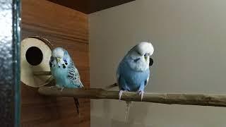 Вольер и волнистые попугаи.