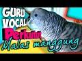 Perkutut Lokal Jagonya Mancing Lawan Masteran Gacor  Mp3 - Mp4 Download