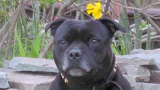 Staffordshire Bull Terrier Rescue Pepper Part Two