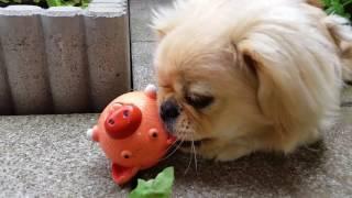 Кто сказал, что игрушка не понравилась?) (Пекинес / собака)